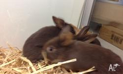 Mini Lop X Rabbits Male & Female available 7 weeks old