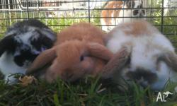 Pure bred baby mini lop rabbits for sale and ready for