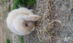 Baby mini lops for sale 2 left one black one fawn cream