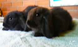 We have 2 beautiful black 7 week old pure bred Mini