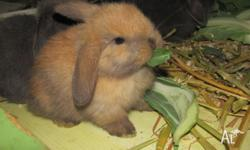 I have for sale baby mini lops, each baby will come