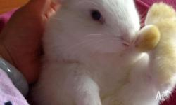 Hi_we have 5 cute and friendly purebred mini lop. They