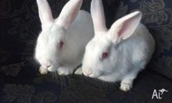 I have 2 white femles, 12 weeks old They are very used