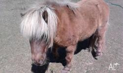 Mini Shetland gelding about 8yrs old. When clipped he