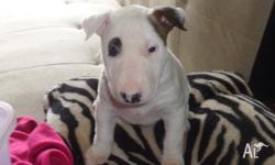 Female Miniature Bull Terrier, Papers, vet checked,