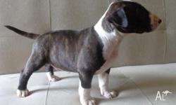 Male Miniature Bull Terrier 6 weeks old, papers, vet
