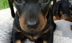 Two black and tan girl miniature dachshunds for sale