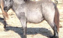 Miniature Horse Filly �Pixie Valley Vogue� WAs $2000.00