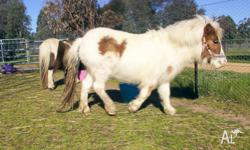 Lady. White filly chestnut markings, rising 2 year