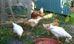 10 week old mixed breed pullets for sale. Four