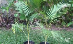 Archontophoenix purpurea (Mt.Lewis Purple Palm) is a