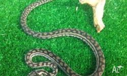 We have Juvenile Murray dalring pythons for sale. Basic