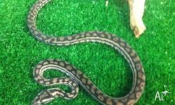 We have Juvenile Murray Darling Pythons for sale.