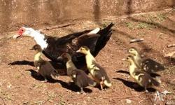 Drake, duck and 5 ducklings, all 3 for $50.00 Please