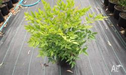 This is a new variety of Nandina that gets red leaves