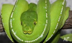 Hi I have some native Australian green tree pythons for
