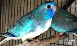BREEDING PAIRS BLUE WHITE FRONTED SCARLETS $230 PR