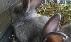 Bestys Bunnies is an excellent home breeder with Vet