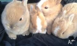Purebred Netherland Dwarf bunnies and Rabbit 1x