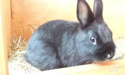 Up for adoption is my cute little Black Netherland