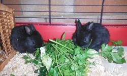 $120.00 each (Pure bred from show quality parents) they
