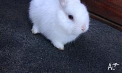 Blue eyed White Netherland dwarf female Available. 11