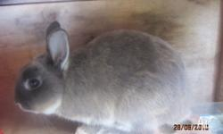 NETHERLAND DWARF RABBIT BREEDING PAIR OF RABBITS
