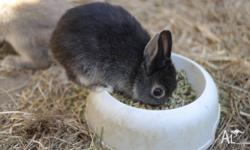 We have 8 weeks old, very cute pure Netherland Dwarf