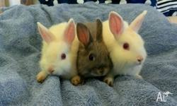 Three Netherland Dwarf rabbits ready for a new home!