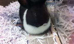 I have 1 male Netherland x dwarf lop rabbit for sale.