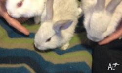3 Netherlands x rabbits $25 each 10 weeks old. Tame &