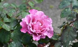 We have a large assortment of rose bushes (hybrid-tea,