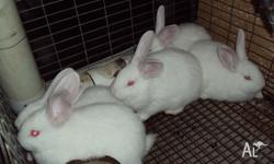 New Zealand pure bred rabbits males and females 8wks