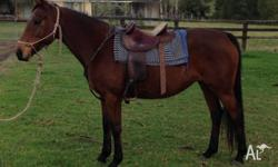 Thoroughbred/Stock horse 8y/o mare by registered Stock