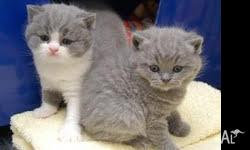 4 male and female nice chunky staffy british shorthair