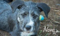 NONA 14 WEEKS OLD WOLFHOUND FEMALE $300 TO ADOPT Nona