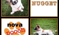Nugget � Small Male Terrier Mix Pup Age: 7 months