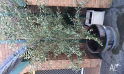 3 year old Olive tree in Wine barrel for sale. Buyer