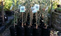 Just in and potted we have 4 varieties of olive trees.