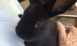 Last cute rabbit. We are offering one gorgeous black