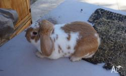 MINI LOP BREEDING ORANGE BUTTERFLY BOY DOB 20.12.13