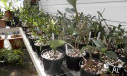 Orchids for Sale Dendrobiums Cymbidiums Cruxifix Elks