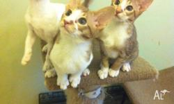 Male and Female, Cinnamon Spotted Bi-Colour kittens.