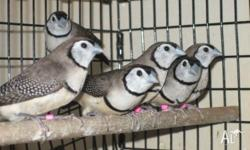 I have double bar fiches / owl finches for sale. They
