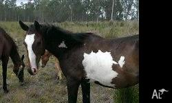 I have a paint Colt for sale. He is 14 months old and