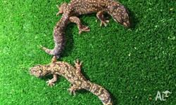 We have one pair of Marble Velvet Geckos for sale for