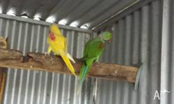 Pair of Alexandrine parrots Lutino Female and Male
