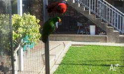 Pair of eclectus parrots for sale. Female is 2 years