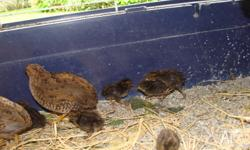 Pair of mature King Quail (No babies only pic I could
