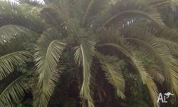 I am offering this palm tree as I am thinking to do